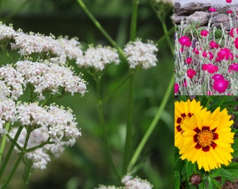 Wildflower Plant Combo for Sun - Garden Heliotrope - 'Sunkiss' Coreopsis - Lychnis - live plants - plants for sun - outdoor garden plants