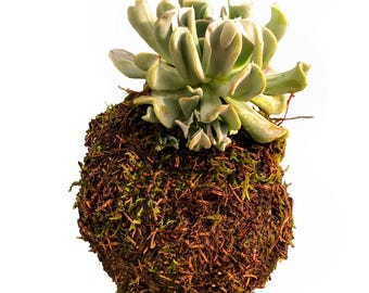 Echeveria Topsy Turvy Moss Ball Plant Globe,  Japanese Kokedama Garden, Best Moss Ball & Zen Globe Plant for Him and Her