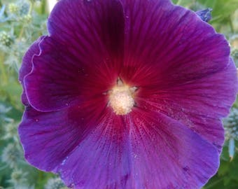 Rare Purple Hollyhock Seeds, Rare Hollyhocks, Purple Hollyhock Seeds, Cottage Flower Seeds, Heirloom Seeds, FREE SHIPPING in the U.S.