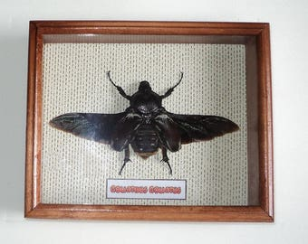 Goliathus goliatus big size bugs dark form in exclusive frame made of expensive wood !