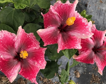 Tropical Exotic Hibiscus 'Red Wine' ~ Live Plant