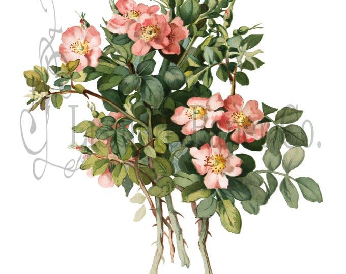 Briar Rose Print, Rose Illustration, Botanical Decor, Flower Decor, Digital Art, Printable Art, Instant Download, Architecture Decor, Craft