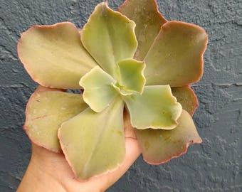 "Echeveria Hybrid Rare Succulent 4"" No Roots"