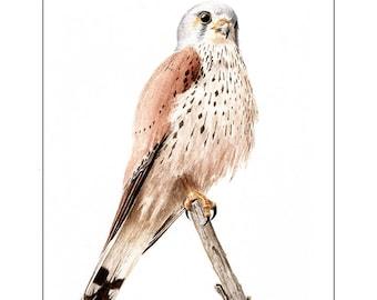 Kestrel, watercolor.