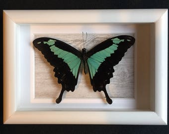 Real Taxidermy Butterfly - Papilio Phorcas