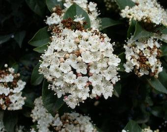 10  Seeds Viburnum sargentii ,Onondaga  Seeds,| Sargent viburnum Seeds