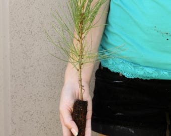 TreesAgain Ponderosa Pine Tree - Pinus ponderosa - 4 to 7+ inches (see state restrictions)