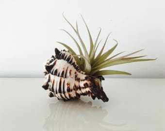 Air - air plant - terrarium kit shell - zen plant