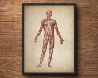 Anatomy poster, Anatomy print, Muscular system print, Human anatomy poster, Medical print, Anatomical drawing, Human anatomy, Wall art