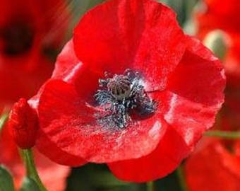 Poppy Seeds, FREE SHIPPING, Red Corn Shirley Poppy Seeds, Rabbit Rescue Donation