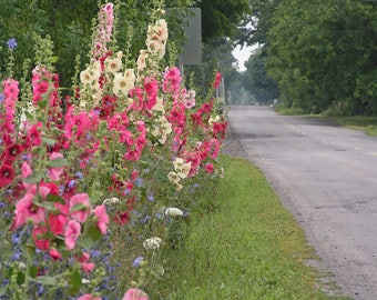 Hollyhocks by the roadside in  Waupoos