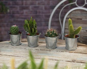 Cactus Mix In Decorative Metal Pales - Plants - House / Office Live Indoor Pot Plant - Ideal Wedding Favour Party Gifts