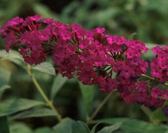 Butterfly Bush, Buddleia davidii Royal Red, Live plant