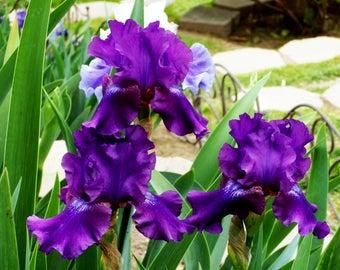 Rosalie Figge, Tall Bearded Iris