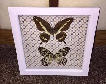 Taxidermy Framed Butterflies