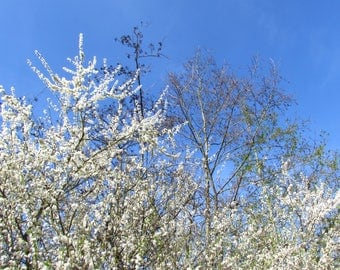 2 Prints of Blossom Tree with Bright blue sky no clouds