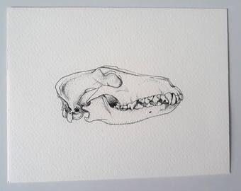 Greyhound skull