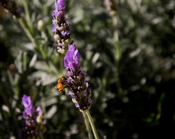Dark Lavender Bee, Photographic Art Print