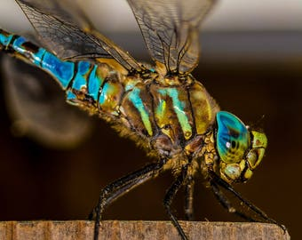 A Variable Darner Dragonfly.