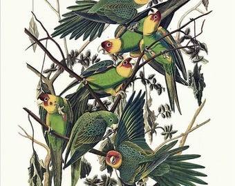 Audubon bird art - Carolina Parrot