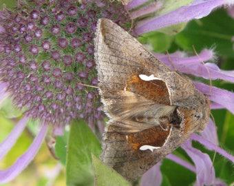Moth and Monarda