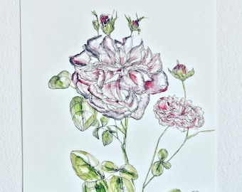damask rose one