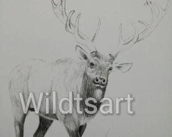 Bull Elk, Pencil drawing