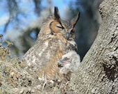 Framed Great Horned Owl mom and chick