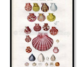 Shell Print Antique Reproduction. Plate IX from British Shells by Sowerby pub. 1859. Wall Decor for, Hamptons, Shabby Chic, Beach House