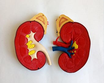 Vintage Anatomical Model of the Human Kidney in Resin of the 60's. Scientific School Model.