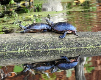 Turtle Love - Matted Photo Art, Various Sizes