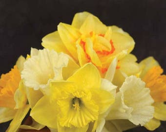 10 Yellow Daffodil Blend-Mixed Daffodils(Pack of 10 Bulbs)-Narcissus Perennial Spring Bloomming