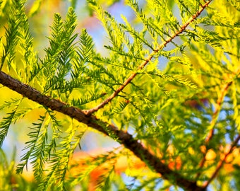 Digital Download Pine Trees