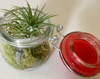 Tillandsia Ionatha Mexican Select Purple Flowering Air Plant In a Glass Jar Planter, 3.5 inches  Tall.