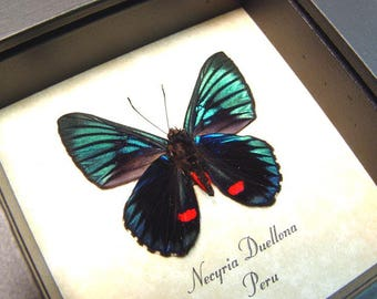 Real Framed Necyria Duellona Metallic Red Spotted Butterfly 712v