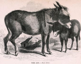 1840s-1850s Antique Engraving of the Ass