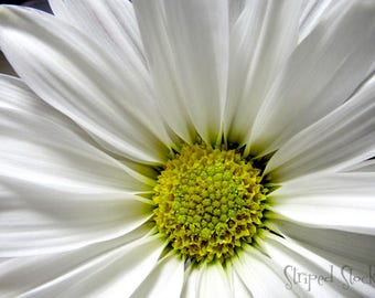 Instant Download White Marguerite Daisy Flower Stock Photo Macro Photography Close Up Wedding Beautiful Elegant Classy Pure