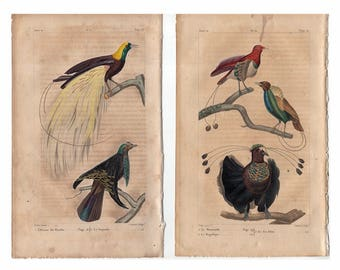 c. 1817 ANTIQUE BIRD PRINTS - hand colored bird engravings - original antique prints - ornithology prints - Buffon - tropical birds