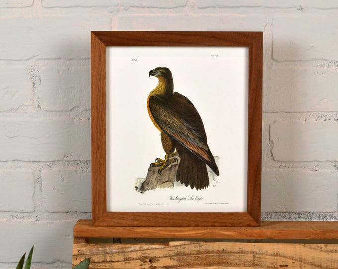"Framed Audubon Bird Print ""Washington Sea Eagle"" Full Color Reproduction - Solid Natural Walnut Peewee Style - IN STOCK - Same Day Shipping"