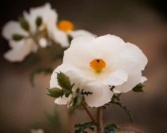 poppy, flower, gift for mom, gift for women, Poppy flower, poppies, white bedroom art, large wall art, white girls room, photo, photography