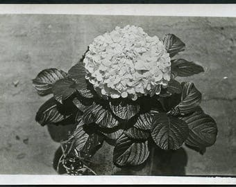 Beautiful GERANIUM FLOWER Photo Postcard circa 1910s