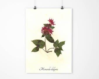 SALE - Red Bee Balm Pressed Botanical Art - Herbarium Specimen - Real Dried Flower Art