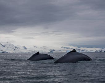 Humpback Whale Duo