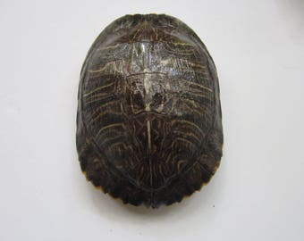 Turtle Shells  Red Eared Slider 7 3/4 x 8 Long Carapace Taxidermy 1