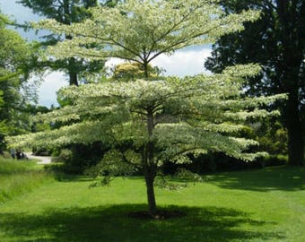 100 Giant Dogwood Tree Seeds, Cornus Controversa