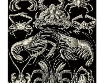 Ernst Haeckel's Vintage Artwork Decapoda