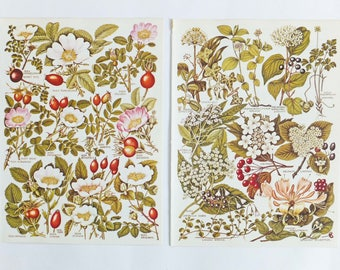 Autumn Berries, Fall Decor,  Rosehips, Two Botanical Drawings, vintage flower and berry illustrations - old botanical prints of flowers