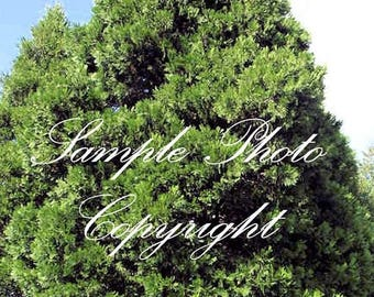 10 Seeds Incense Cedar Tree Evergreen Rugged Bark Great for plant collectors Privacy screen or hedge Aromatic conifer Calocedrus decurrens