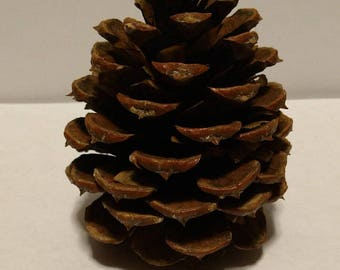 ponderosa pine cones 200 to use for guest seating place card holders or guest