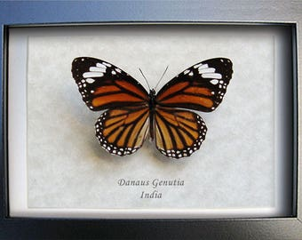 Striped Tiger Danaus Genutia Real Butterfly In Museum Quality Shadowbox